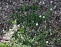Sagina japonica 2.JPG