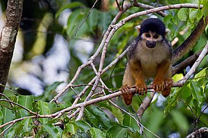 Mamirauá Sustainable Development Reserve - Saimiri vanzolinii is a primate species endemic of the reserve.