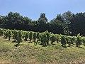 Saint-Martin-du-Mont (Ain) - vigne.JPG