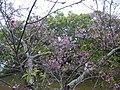 Sakura at Mount Yaese 201801 02.jpg