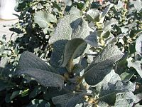 Salix-lanata-leaves