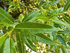 Salix fragilis - Leaves