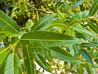 Salix fragilis - Leaves