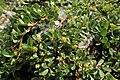 Salix serpyllifolia kz03.jpg