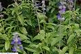 Salvia nemorosa Mystic Spires Blue 3zz.jpg