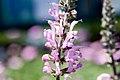 Salvia pratensis Pink Delight 1zz.jpg