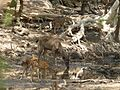 Sambar, chital and blackbuck AJTJ P1100215.jpg