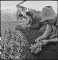 San Leandro, California. Family labor transplanting young tomato plants under canvas about ten days . . . - NARA - 536436.tif