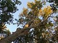 Sapindaceae - Acer oblongum.JPG