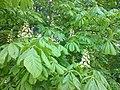 Sapindales - Aesculus hippocastanum 2.jpg