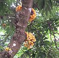 Saraca cauliflora.jpg