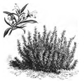 Sarriette vivace Vilmorin-Andrieux 1883.png