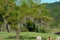 Sauce llorón (Salix babilonica) (14693741202).jpg