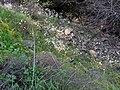 Saxifraga granulata Habitus 2009March19 SierraMadrona.jpg