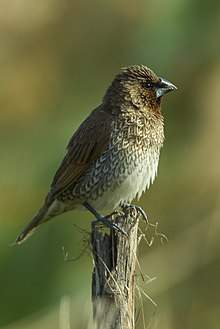 Scaly-breasted Munia - Taiwan S4E7851 (22799290830).jpg