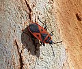 Scantius aegyptius. Pyrrhocoroidea (32766656705).jpg