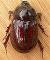 Scarabaeidae1.jpg