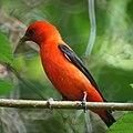 Scarlet Tanager (6952608142).jpg