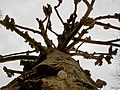 Scary tree - geograph.org.uk - 731096.jpg