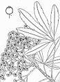 Schefflera umbellifera00.jpg