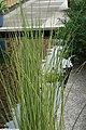 Schoenoplectus lacustris tabernaemontani Albescens 1zz.jpg