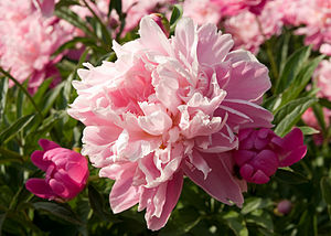 Paeonia lactiflora cultivar. Photograph of one...