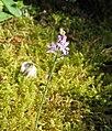 Scilla autumnalis 1.jpg