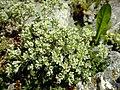 Scleranthus perennis inflorescence (24).jpg