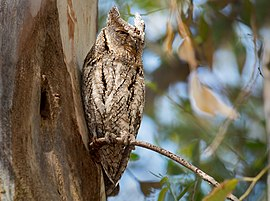 Scops Owl (Otus scops), Kalloni, Lesvos, Greece, 19.04.2015 (16773748434).jpg