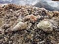 Sea shells at Pefkakia.jpg