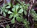 Sedum cepaea plant (14).jpg
