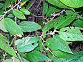 Seringia arborescens Batemans Bay.jpg