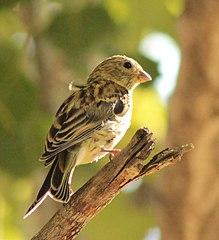 Kanárik záhradný (syn. k. poľný) (Serinus serinus) - samička