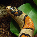 Serpent-Roi Mexicain Ile aux Serpents 17 11 08 1.jpg