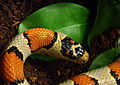 Serpent-Roi Mexicain Ile aux Serpents 17 11 08 3.jpg