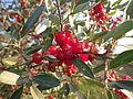 Shepherdia argentea — Matt Lavin 008.jpg
