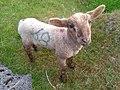 Shorn lamb.jpg