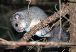 Relmuis of zevenslaper (Glis glis of Myoxus glis)
