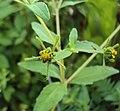 Sigesbeckia orientalis 06.JPG