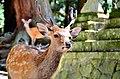 Sika deer in Nara 05.jpg