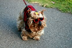This Silky Terrier has been dressed up by its owner.