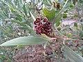 Silver-leaved Wattle seed pods (5189586830).jpg