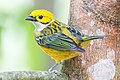 Silver-throated Tanager -39 100- (34538471474).jpg