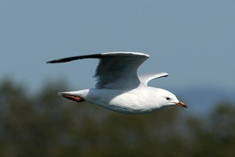 Silver gull - Image: Silver Gull in flight