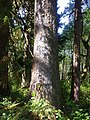 Sitka spruce - Flickr - brewbooks.jpg