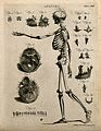 Skeleton with left arm extended, side view, with eighteen fu Wellcome V0008030ER.jpg