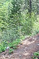 Skihist Provincial Park (157709018).jpg
