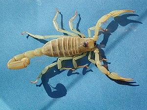 gul skorpion