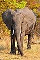 Sloni na silnici v národním parku Chobe, cestou do Namibie - Botswana - panoramio (2).jpg
