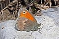 Small heath (Coenonympha pamphilus) Estonia.jpg